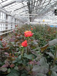 Цветы тепличный южно-сахалинск